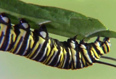 ce-inseamna-metamorfoza-completa,-procesul-prin-care-apar,-de-fapt,-fluturii